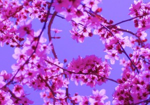 Free Colorful Spring Blossoms in Pink on Blue Sky Creative Commons